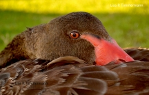 Black swan - Perth, Western Australia