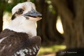 Kookaburra - Western Australia