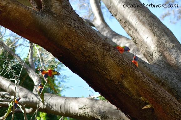 Rainbow Lorikeets