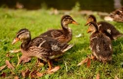 Ducks in Werl, Germany