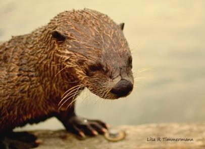 Otter - Victoria, BC, Canada