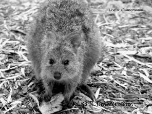 Quokka - Rottnest Island, Western Australia