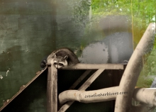 Raccoon in captivity