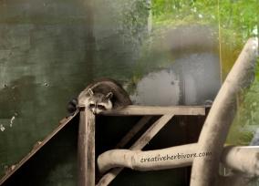 Raccoon in captivity