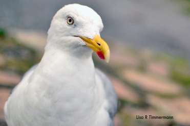 Hungry seagull in Howth, Ireland